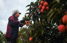 Le litchi vietnamien autorisé à l'exportation vers le Japon