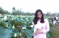 L'unique étang de lotus blanc en banlieue de Hanoï