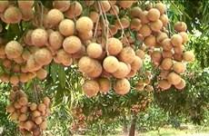 Son La accélère les exportations de longanes vers les États-Unis et l'Australie