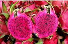 Le fruit du dragon à chair rouge bientôt exporté vers le Japon