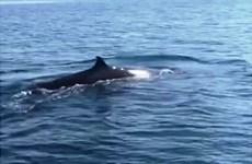 Une baleine de plus de 4 m dans les eaux de Cù Lao Chàm
