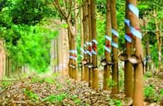 La Chine, premier marché d'exportation du caoutchouc vietnamien