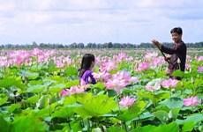 À Dông Thap Muoi, le lotus dans tous ses états