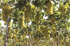 Des vignobles aux métiers traditionnels à Ninh Thuân
