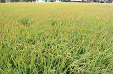 Les grands potentiels de riz parfumé du Vietnam dans l'UE