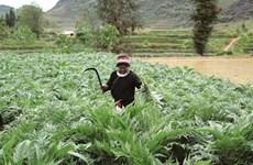 La culture de l'artichaut gagne du terrain à Lào Cai