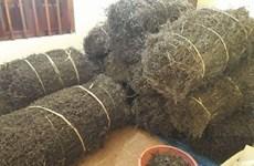 Signature d'un protocole pour exporter de la gelée d'herbe du Vietnam vers la Chine