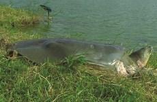 Au Vietnam, un nouvel espoir pour la tortue géante de Swinhoe