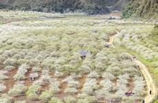 Môc Châu et sa saison des pruniers