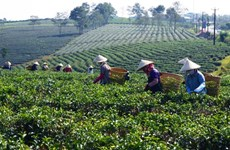 Le Pakistan, premier marché du thé vietnamien au premier trimestre