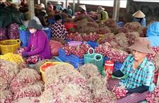 À Soc Trang, les maraîchers de Vinh Châu s'occupent de leurs oignons violets