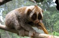 Conservation des loris dans la réserve naturelle de Xuân Liên