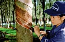Le Vietnam exporte 905.000 tonnes de caoutchouc en huit mois
