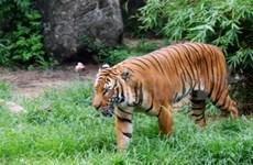 Tigre d'Indochine : le Vietnam recense 150 individus