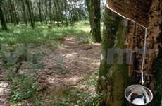 Plantation de 600 ha d'hévéa au Laos