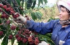Pour un développement durable des caféiers