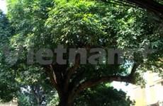 Hanoi: des arbres du temple de Voi Phuc reconnus patrimoine national