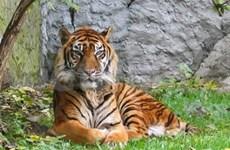 ENV lance un site web sur les tigres