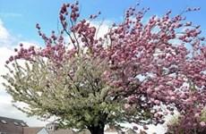 Des cerisiers japonais seront plantés à Hanoi