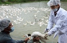 Le Vietnam coopère dans la lutte contre la grippe aviaire