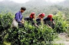 Le théier, plante anti-pauvreté à Hà Giang