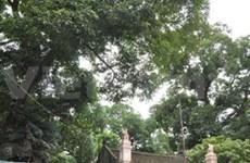 Deux manguiers de Nam Dinh classés au patrimoine