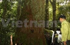 Thanh Hoa: deux arbres millénaires classés patrimoines nationaux