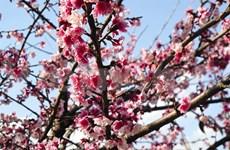 Les cerisiers Sakura sont en fleurs à Muong Phang