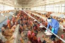 Grippe aviaire: l'USAID octroie 1,7 million d'USD au Vietnam