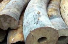 Saisie de 50,2 kg de défenses d'éléphant à Hanoi