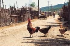 Cambodge : deux nouveaux cas de grippe aviaire