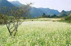 La saison de la floraison revient sur le haut plateau de Môc Châu