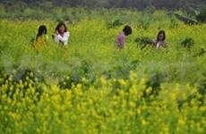 Les brassicacées transforment la banlieue de Hanoi en paradis floral