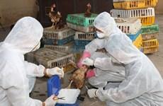 Grippe aviaire : le ministère de la Santé donne des recommandations