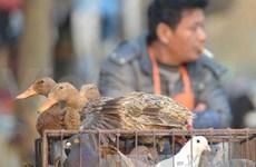 Lao Cai : renforcement des mesures de prévention et de lutte contre la grippe A/H7N9