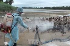 La grippe aviaire continue de frapper des localités