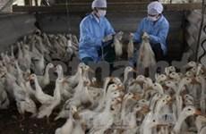 La grippe aviaire est signalée dans 22 localités