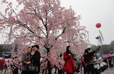 Hanoi : la fête des cerisiers en fleurs accueille de nombreux visiteurs