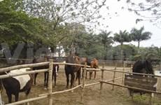 Un centre équestre au cœur de Hanoi