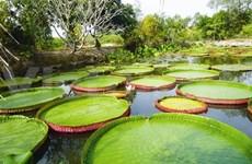 Les lotus-roi de la pagode Phuoc Kiên