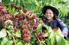 Café : exportation plus d'un million de tonnes ce premier semestre