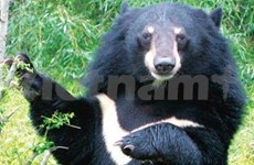Découverte de l'ours noir d'Asie à Quang Nam
