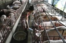 Le Danemark aide le Vietnam à développer un élevage porcin de haute qualité