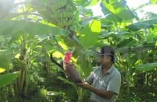 Yên Châu : des bananiers pour sortir de la pauvreté