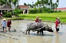 Voyage : tour à dos de buffle sous le soleil de Hôi An