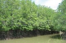 Tra Vinh: 63 mlds de dôngs pour la protection de mangroves