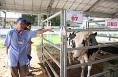 Cu Chi : après les tunnels, les vaches laitières