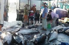 Un deuxième lot de thons vietnamiens expédié au Japon