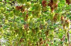 Ninh Thuân mise sur la viticulture pour se donner la pêche