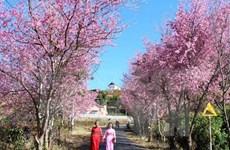 Bientôt la Fête du cerisier Sakura à Hanoi